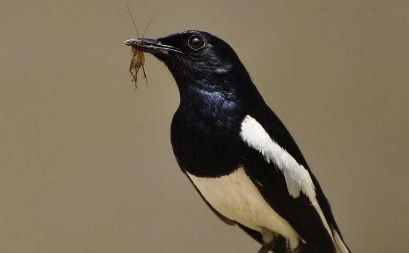 Pakan Kacer Gacor (birds.iitk.ac.in)