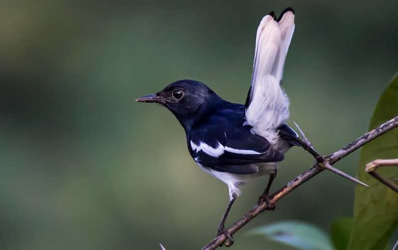 Perawatan Burung Kacer Tipe Panas dan Dingin (birdsofgujarat.in)