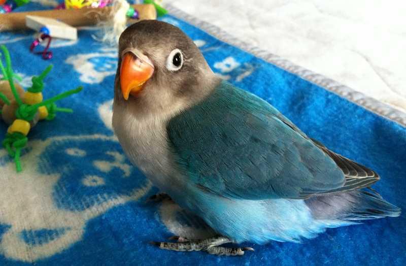 Perbedaan Lovebird Paud Balibu dan Dewasa (birdcrazyresort.com)