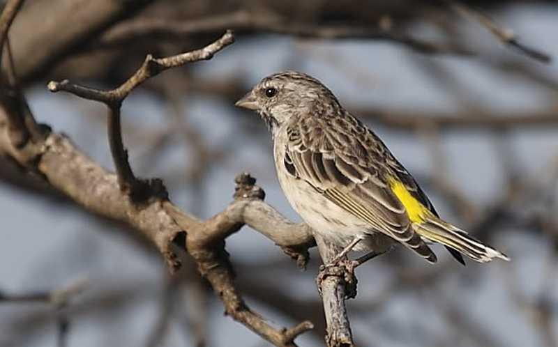 Suara Isian Burung Blackthroat (tempatburung.blogspot.com)