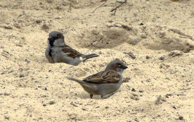 Terapi Mandi Tanah Kering dapat Membuat Burung Panjang Umur