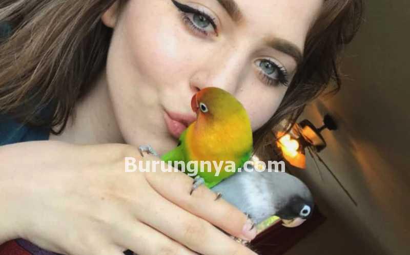 20 Bahasa Tubuh Lovebird Untuk Menentukan Setingan Lovebird