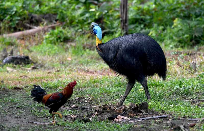 Burung Kasuari Cakar Pemiliknya hingga Tewas (metro.co.uk)