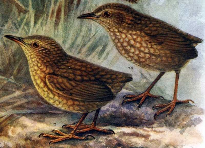 Burung Lyall wren (businessinsider.com)