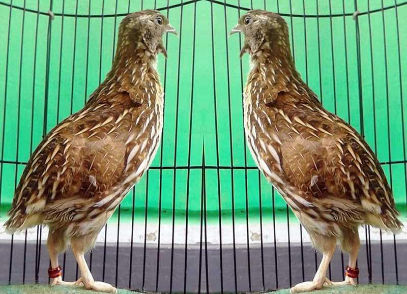 Burung Puyuh Terbaik (omkicau.com)