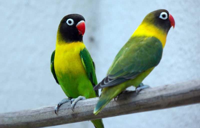 Cara Membedakan Lovebird Jantan dan Betina (getwallpapers.com)