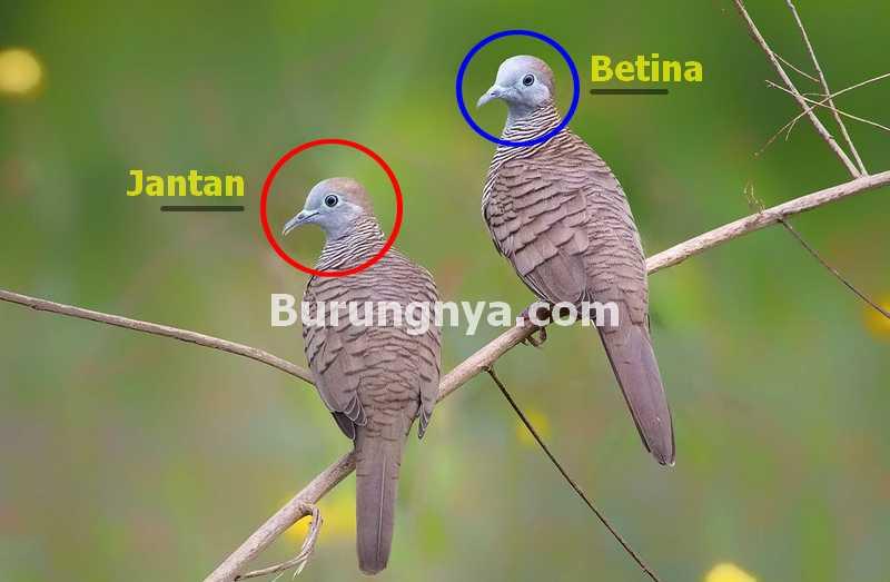 Cara Membedakan Perkutut Jantan dan Betina (burungnya.com)