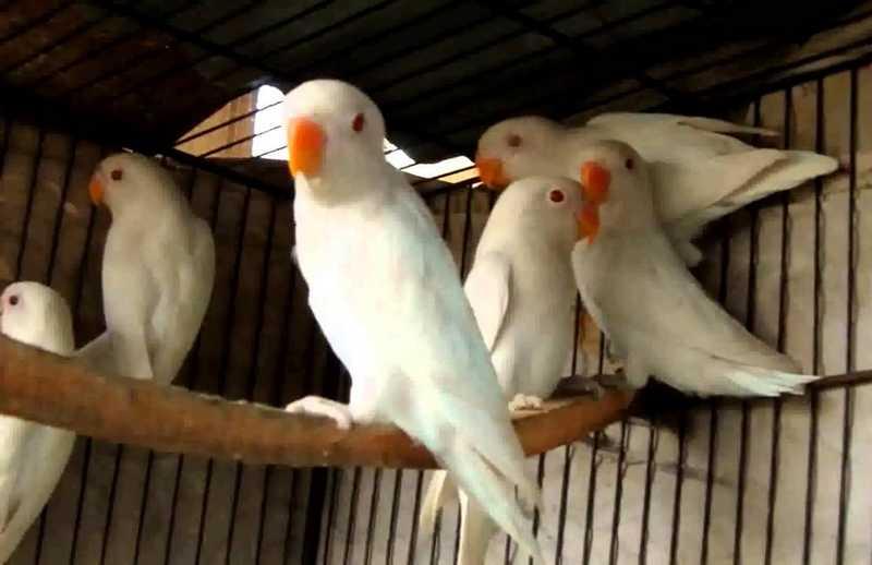 2 Cara Mencetak Lovebird Albino Mata Merah Langka
