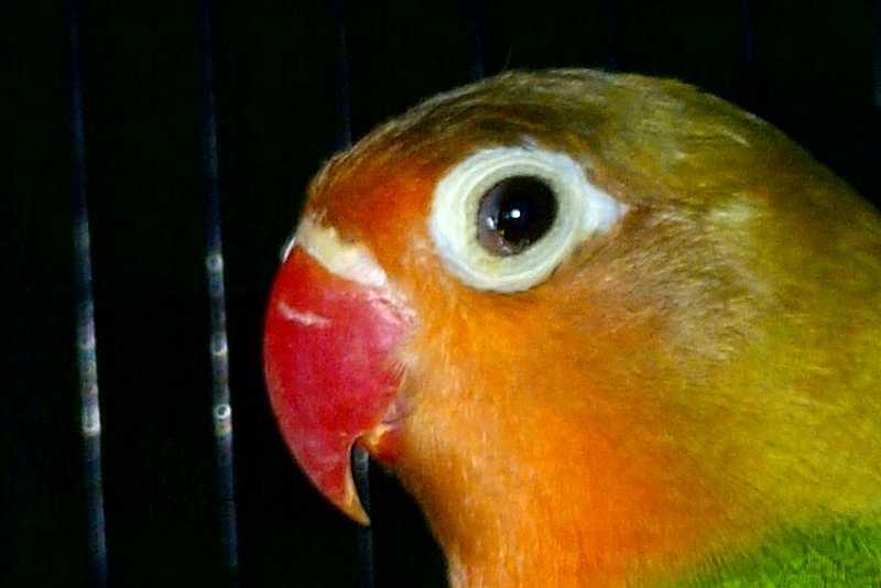 Cara Mengatasi Penyakit Snot pada Burung Lovebird (suksesperawatan.blogspot.com)