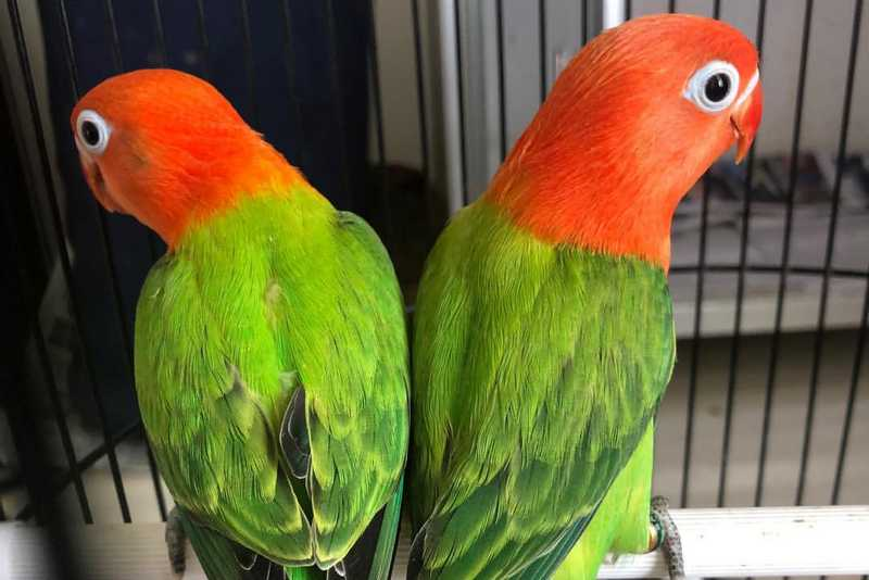 5 Ciri Lovebird Biola Fischeri Green yang Bagus
