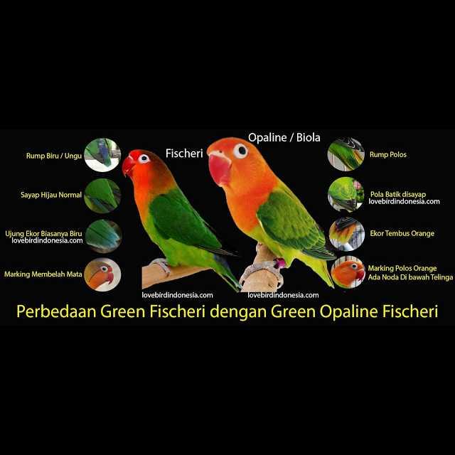Ciri Lovebird Biola yang Bagus (lovebirdindonesia.com)