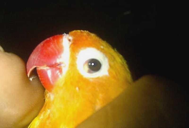 Ciri Lovebird Terkena Penyakit Snot (swarakicauburung.blogspot.com)