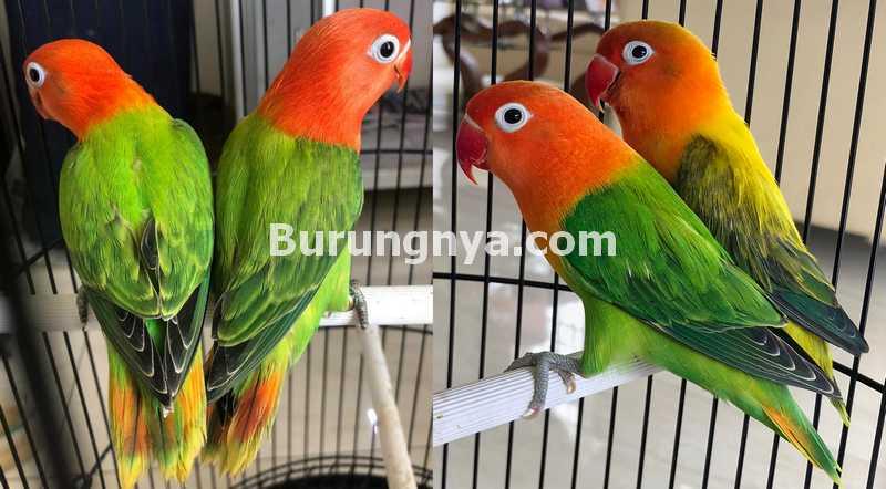 Ciri-ciri Lovebird Biola yang Bagus (barbirdfarm)
