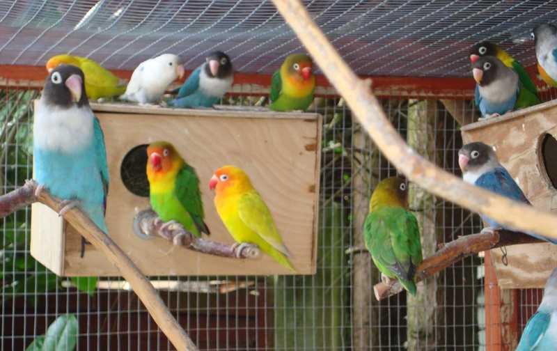 7 Jenis Glodok Lovebird yang Produktif dan Unik