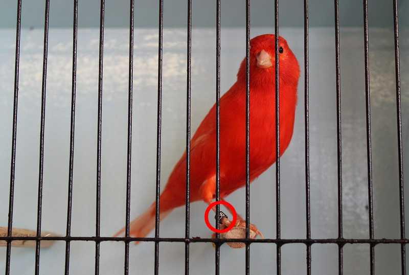 Kode Ring Burung Kenari dan Ukuran Ring Burung yang Benar