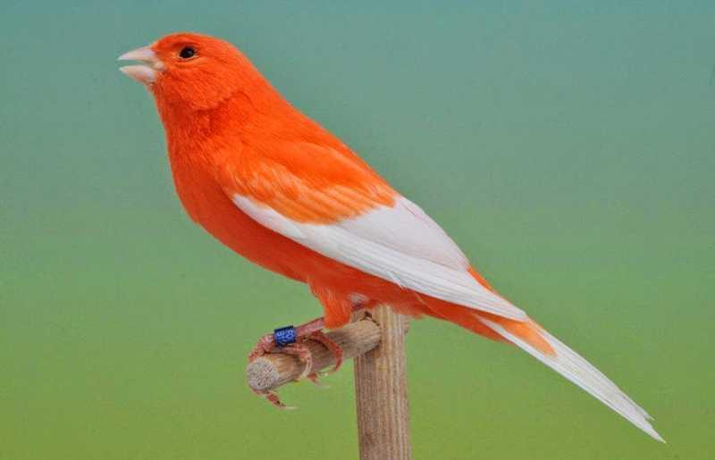Kode Ring Burung (ozankicaumania.com)