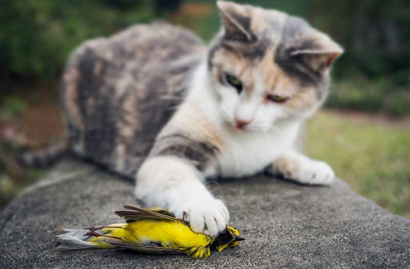 Kucing Makan Burung sampai Punah (discovermagazine.com)
