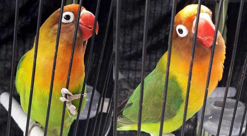 Lovebird AiLeen ngekek panjang (omkicau.com)