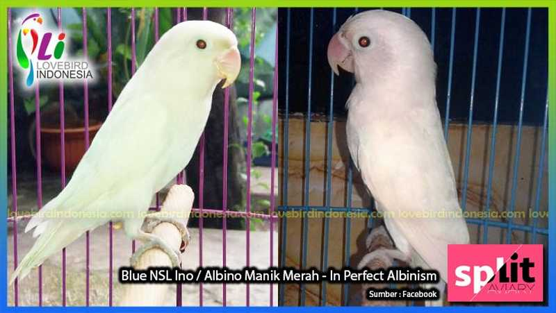 Lovebird Albino Retina Merah (lovebirdindonesia.com)