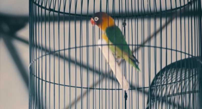 Lovebird Anu dari Lovebird Ternak Jadi Lovebird Lomba (youtube.com)
