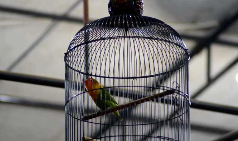 Lovebird Baladewa Ngekek Terpanjang di Indonesia (youtube.com)