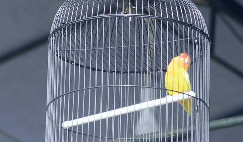 Lovebird Gombloh (youtube.com)