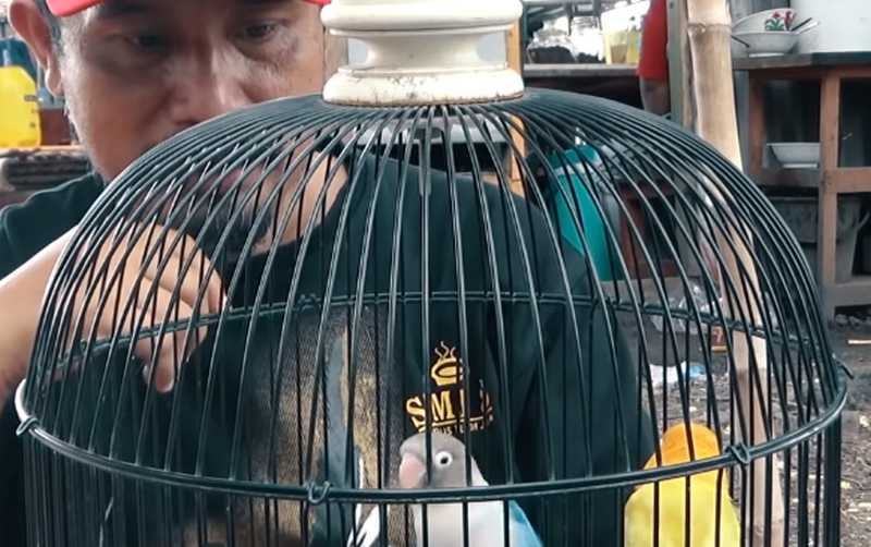 Lovebird Macet Jadi Ngekek (youtube.com)