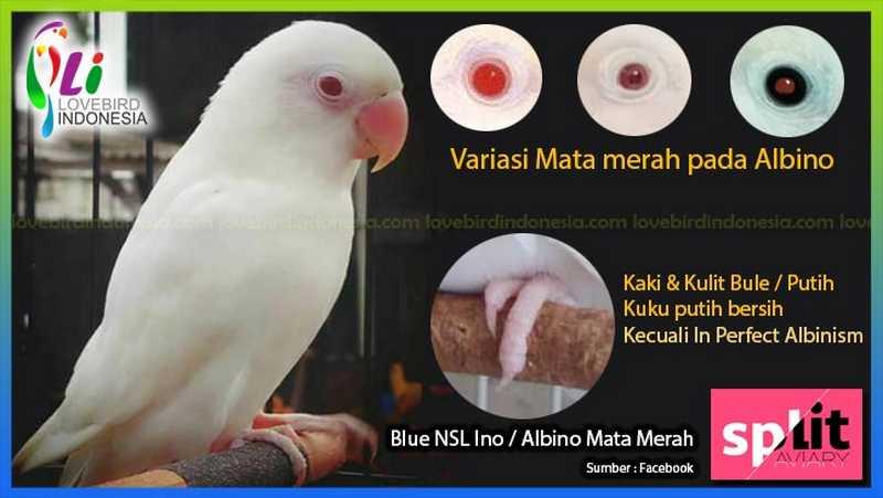 Macam Jenis Mata Merah pada Lovebird Albino (lovebirdindonesia.com)