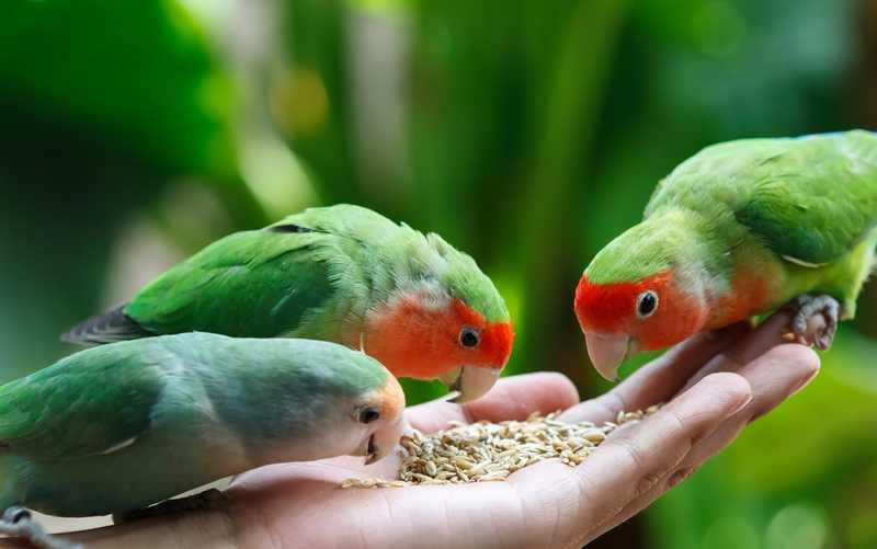 Makanan Lovebird (birdeden.com)