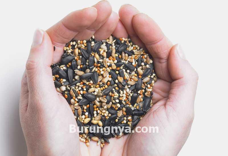 Manfaat Niger Seed untuk Lovebird (vinehousefarm.co.uk)