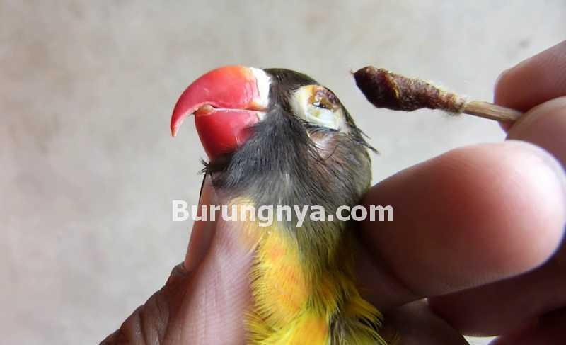 Penyakit Snot Lovebird (youtube.com)