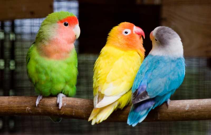 Perbedaan Lovebird Jantan dan Betina (coopsandcages.com)