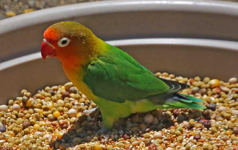 Pola Makan Lovebird (nejohnston.org)