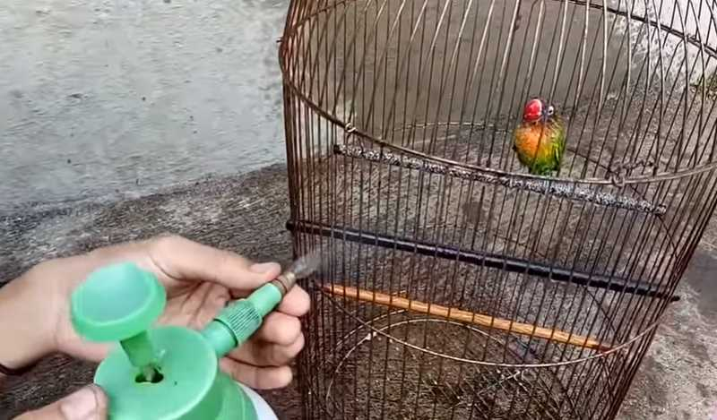 Setingan Lovebird Betina Single Fighter (youtube.com)