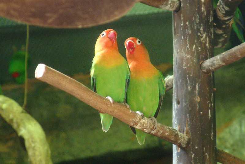Setingan Lovebird Untulan (wallpapersafari.com)