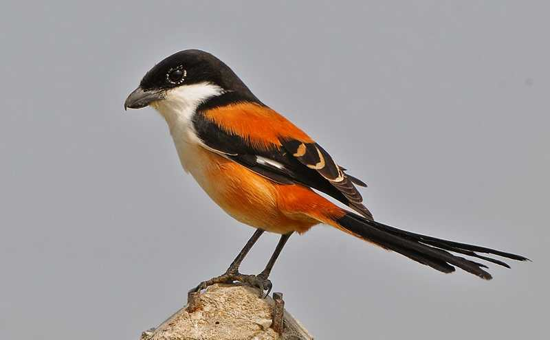 Burung Cendet dengan Ekor Mekar atau Kurang Rapi (fotoburungkicau.com)