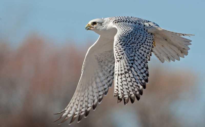 Burung Gyrfalcon (pinterest.com)
