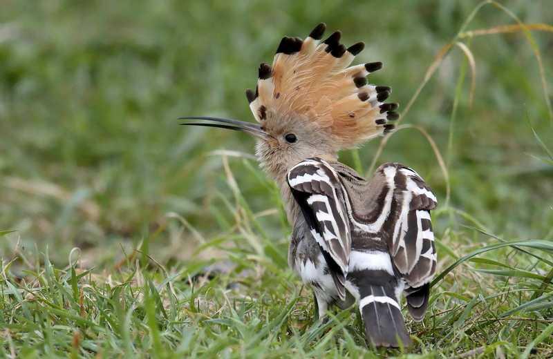 Burung Hud hud (twitter.com)