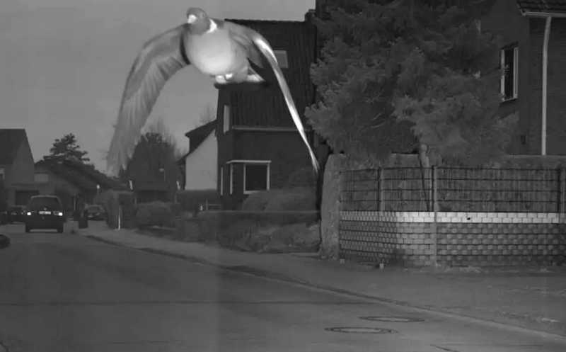 Burung Merpati Ini Terlalu Cepat sampai Melanggar Batas Kecepatan