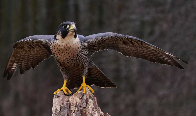 Burung Peregrine Falcon (nationalgeographic.com)