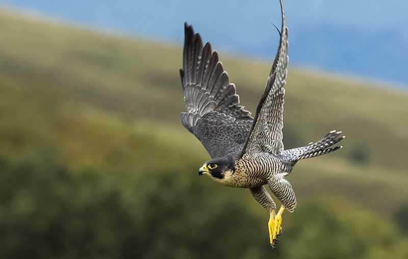 Burung Tercepat di Dunia (howitworksdaily.com)