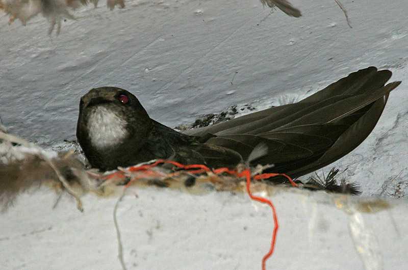 Burung Walet Cepat Bersarang dan Menginap (nhpbs.org)