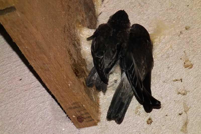 Burung Walet Cepat Menginap di Rumah Walet (socialtextjournal.com)