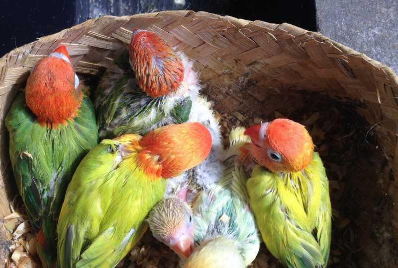 Cara Ternak Lovebird (arenahewan.com)
