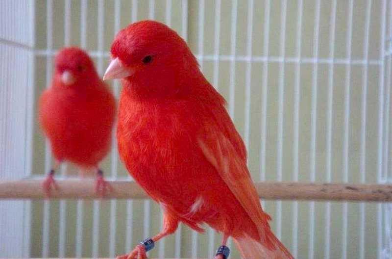 Ciri Burung Kenari Merah (birdsnow.com)
