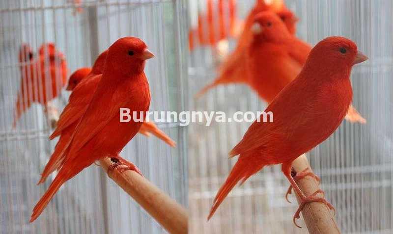 Ciri Kenari Wortel Merah (birdsnow.com)