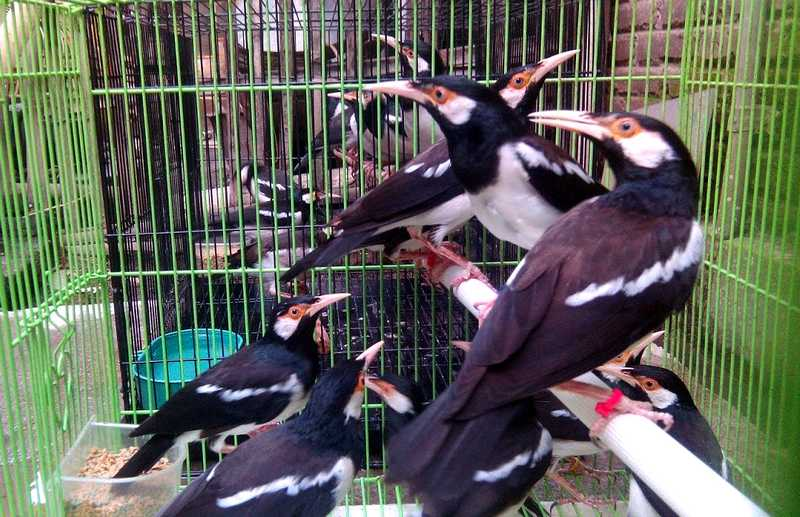 Harga Burung Jalak Menurun Drastis (youtube.com)