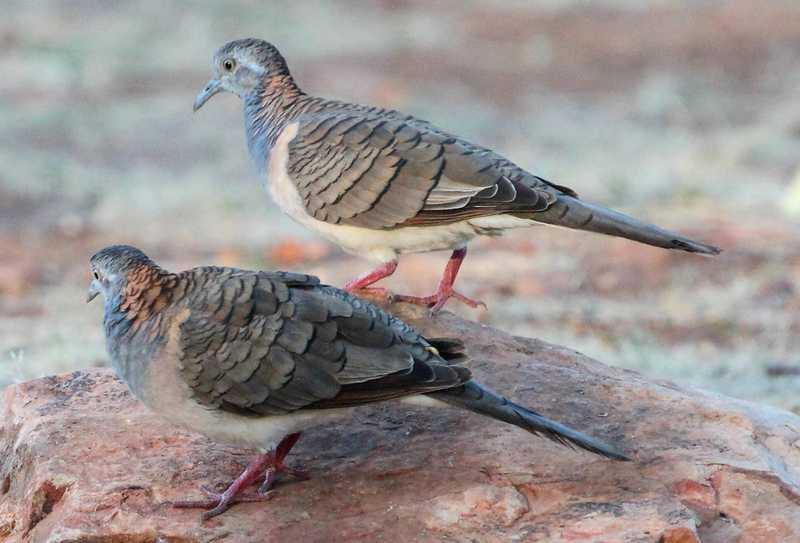 Ilustrasi Burung Perkutut Mabung (hiveminer.com)