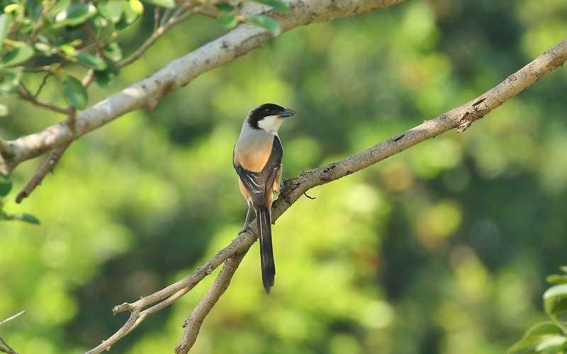 Karakter Burung Cendet yang Bagus (jungledragon.com)