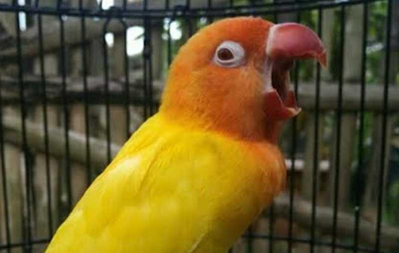 Lovebird Konslet Mangap (youtube.com)